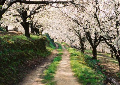 Valle del Jerte y sus cerezos en flor
